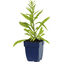 Verge d''or Solidago-Cultivars ''Srahlenkrone'' h 5-80 cm Co 0,5 l (6 pièces)-thumb-2