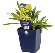 Verge d''or Solidago-Cultivars ''Srahlenkrone'' h 5-80 cm Co 0,5 l (6 pièces)-thumb-1