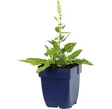 Sauge Salvia nemorosa ''Schneehuegel'' h 5-40 cm Co 0,5 l (6 pièces)-thumb-1