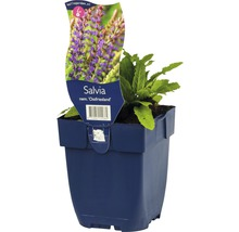 Sauge Salvia nemorosa ''Ostfriesland'' h 5-50 cm Co 0,5 l (6 pièces)-thumb-0