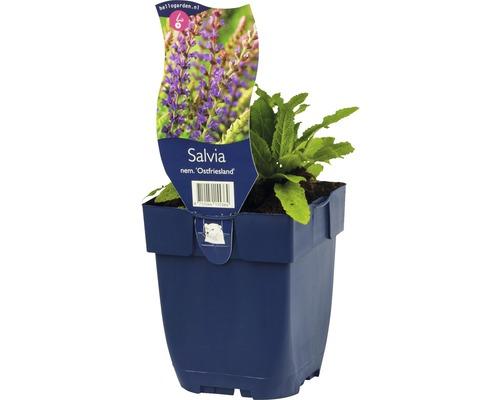 Sauge Salvia nemorosa ''Ostfriesland'' h 5-50 cm Co 0,5 l (6 pièces)