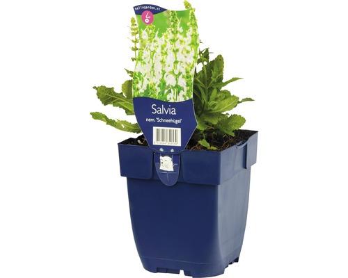 Sauge Salvia nemorosa ''Schneehuegel'' h 5-40 cm Co 0,5 l (6 pièces)-0