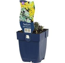 Orpin Sedum spathulifolium ''Purpureum'' h 5-10 cm Co 0,5 l (6 pce.)-thumb-0