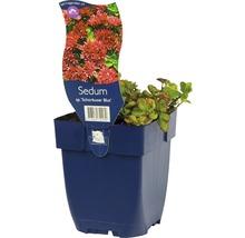 Orpin à feuilles épaisses Sedum spurium ''Schorbuser Blut'' h 5-10 cm Co 0,5 l (6 pce.)-thumb-0