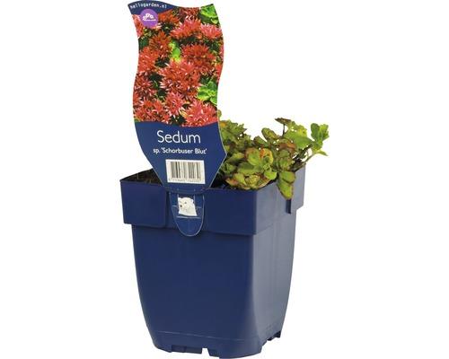 Orpin à feuilles épaisses Sedum spurium ''Schorbuser Blut'' h 5-10 cm Co 0,5 l (6 pce.)