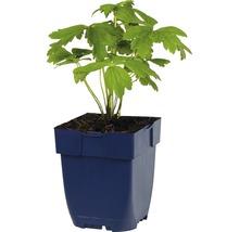 Trolle Trollius-Cultivars ''Orange Princess'' h 5-70 cm Co 0,5 l (6 pièces)-thumb-1