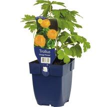 Trolle Trollius-Cultivars ''Orange Princess'' h 5-70 cm Co 0,5 l (6 pièces)-thumb-0