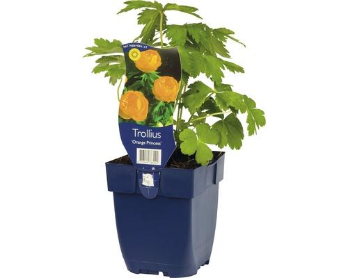 Trolle Trollius-Cultivars ''Orange Princess'' h 5-70 cm Co 0,5 l (6 pièces)-0