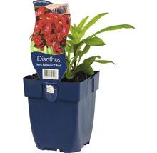 Œillet-de-poète Dianthus barbatus ''Barbarini Red'' h 20-25 cm pot Ø 11 cm (6 pièces)-thumb-0