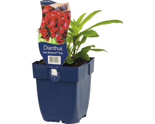 Œillet-de-poète Dianthus barbatus ''Barbarini Red'' h 20-25 cm pot Ø 11 cm (6 pièces)-0