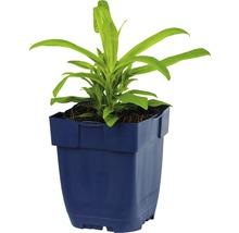 Œillet-de-poète Dianthus barbatus ''Barbarini Red'' h 20-25 cm pot Ø 11 cm (6 pièces)-thumb-1