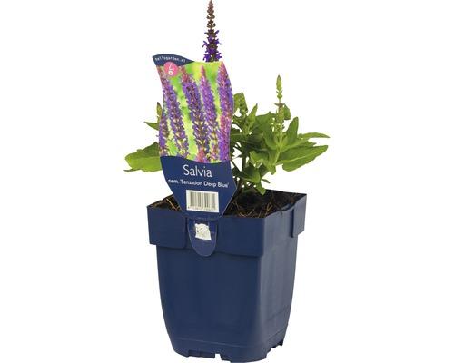 Sauge des bois, sauge des forêts Salvia nemorosa ''Sensation Deep Blue'' h 5-40 cm Co 0,5 l (6 pièces)