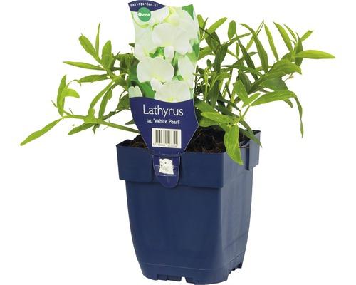 Pois vivace Lathyrus latifolius ''White Pearl'' h 10-150 cm co 0,5 l (6 pces)