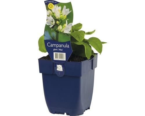 Campanule agglomérée Campanula glomerata ''Alba'' h 5-40 cm Co 0,5 l (6 pièces)-0