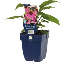 Échinacée rose Echinacea purpurea ''Magnus'' h 5-80 cm Co 0,5 l (6 pièces)-thumb-1