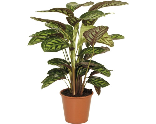 Calathée safranée FloraSelf Calathea-Cultivars ''Flamestar'' H80-90 cm pot Ø 19 cm