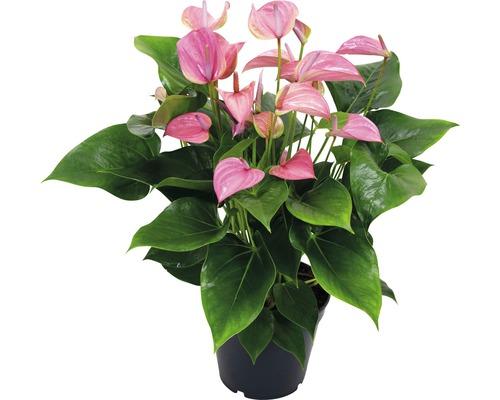 Langue de feu / Anthurium FloraSelf Anthurium andreanum ''Pink'' H50-60 cm Ø 17 cm pot