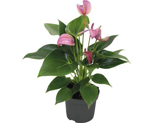 Langue de feu / Anthurium FloraSelf Anthurium andreanum ''Pink'' H25-30 cm Ø 9 cm pot