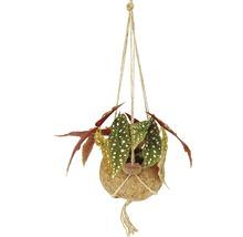 Suspension Kokodama bégonia FloraSelf Henv. 30 cm pot Ø 17 cm-thumb-0