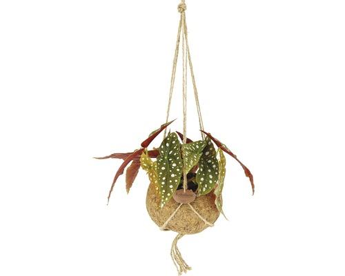 Suspension Kokodama bégonia FloraSelf Henv. 30 cm pot Ø 17 cm-0