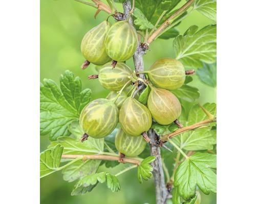 Groseillier à maquereaux Hof:Obst Ribes uva-crispa ''Captivator'' h 20-30 cm Co 3,4 l