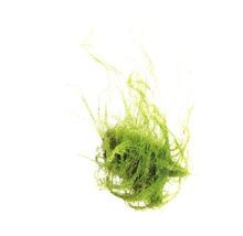 Amblystégie rampante - Amblystegium serpens in-vitro-thumb-0