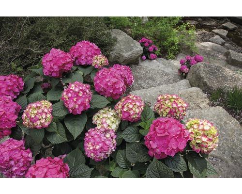 Hortensia boule Endless Summer Hydrangea macrophylla ''Summer Love'' h 30-35 cm Co 5 l rouge