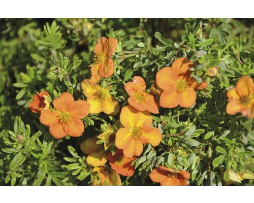 Potentille frutescente Potentilla fruticosa ''Bella Sol''® H30-40 cm Co 4,5 L