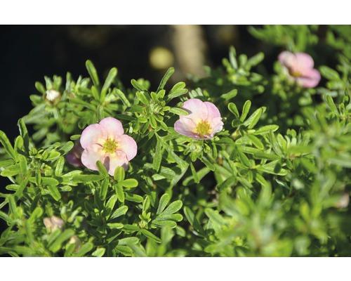 Potentille frutescente Potentilla fruticosa ''Bellissima''® H30-40 cm Co 4,5 L