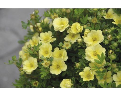 Potentille frutescente Potentilla fruticosa ''Lemon Meringue''® H30-40 cm Co 4,5 L