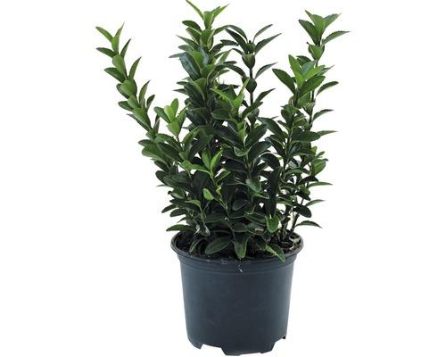 6 x Fusain du Japon à petites feuilles FloraSelf Euonymus japonicus ''Microphyllus'' H15-20cm Co 1 L