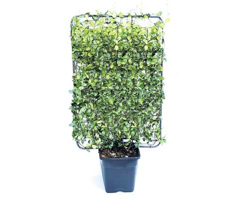 Jasmin étoilé espalier FloraSelf Trachelospermum jasminoides H110-120cm l80cm Co 30l