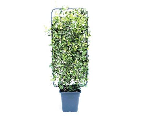Jasmin étoilé espalier FloraSelf Trachelospermum jasminoides H100-110cm l50cm Co 18l
