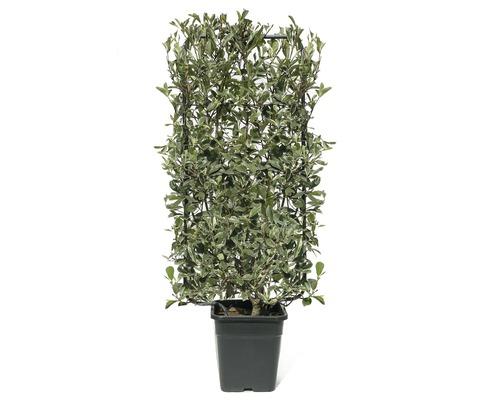 Photinie blanc-vert en espalier Photinia fraseri ''Pink Marble'' ® h110xl50 cm Co 18 L