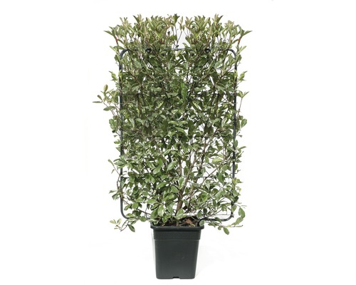 Photinie blanc-vert en espalier Photinia fraseri ''Pink Marble'' ® h120xl80 cm Co 30 L