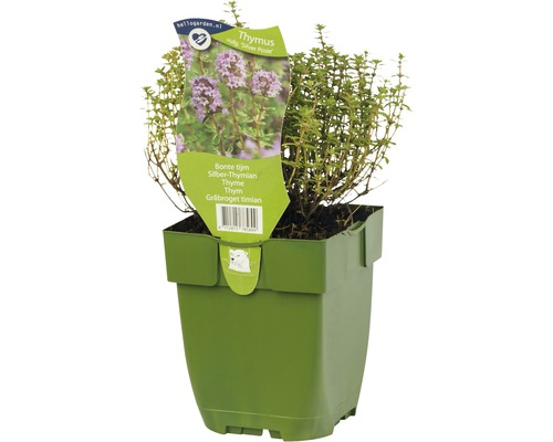 6 x thym blanc panaché Thymus vulgaris ''Silver Posie'' h 5-20 cm Co 0,5 l