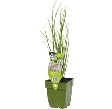 6 x ciboule de Chine Allium tuberosum h 5-20 cm Co 0,5 l-thumb-0