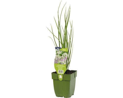 6 x ciboule de Chine Allium tuberosum h 5-20 cm Co 0,5 l-0