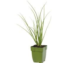 6 x ciboule de Chine Allium tuberosum h 5-20 cm Co 0,5 l-thumb-1
