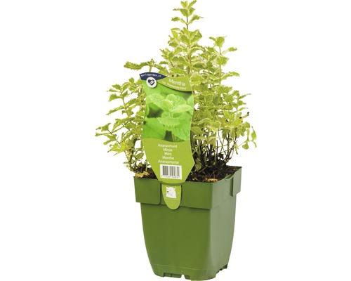 6 x menthe ananas, feuillage panaché Mentha suaveolens/ rotundifolia ''Pineapple Mint'' h 5-20 cm Co 0,5 l
