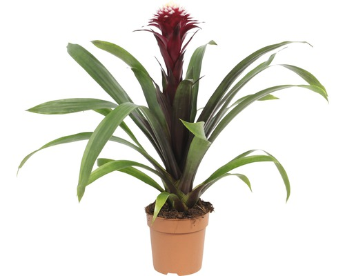 Broméliacée FloraSelf Guzmania x Hybride ''Francesca'' H40-50 cm Ø 12 cm pot