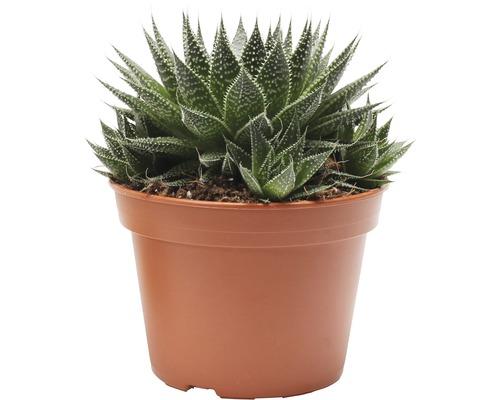 Aloe aristata ''Magic'' FloraSelf H20-35 cm Ø 15 cm pot