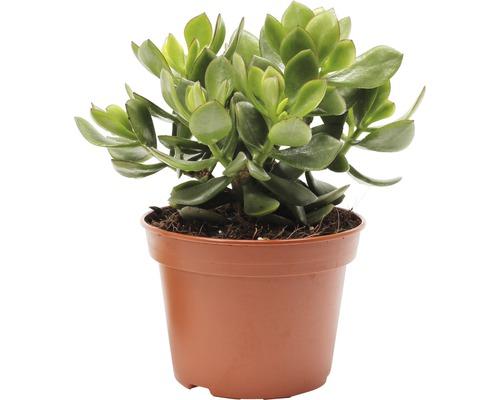 Crassula FloraSelf Crassula minova ''Magic'' H15-30 cm Ø 15 cm pot