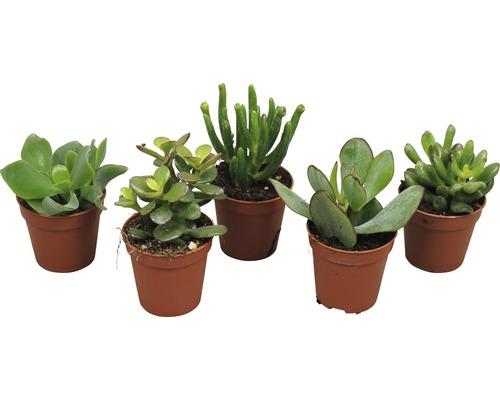 Crassula-Cultivars H12-14 Ø 5,5 cm pot sélection aléatoire de variétés