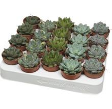 Echeveria H8-10 Ø 5,5 cm pot sélection aléatoire de variétés-thumb-0