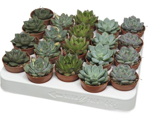 Echeveria H8-10 Ø 5,5 cm pot sélection aléatoire de variétés-0