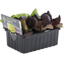 Salanova (salade) FloraSelf Lactuca sativa 6 pièces-thumb-0