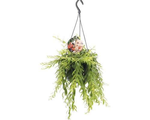 Aeschynanthe FloraSelf Aeschynanthus-Cultivars ''Japhro'' H25-35 cm pot Ø 15 cm