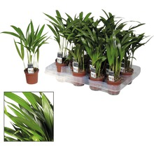 Palmiste multipliant FloraSelf Dypsis H20-30 cm Ø 7 cm pot-thumb-1