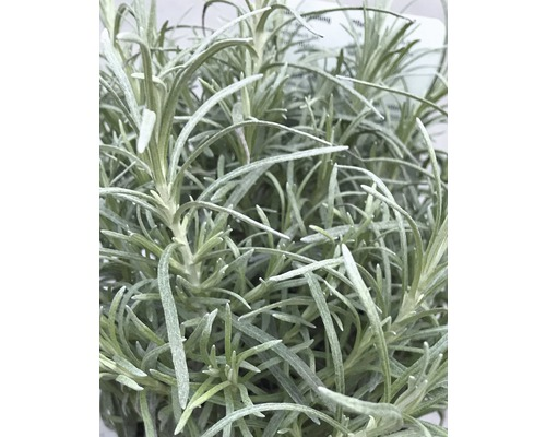 6 x immortelle d''Italie Helichrysum italicum ''Dwarf Curry'' h 5-20 cm Co 0,5 l